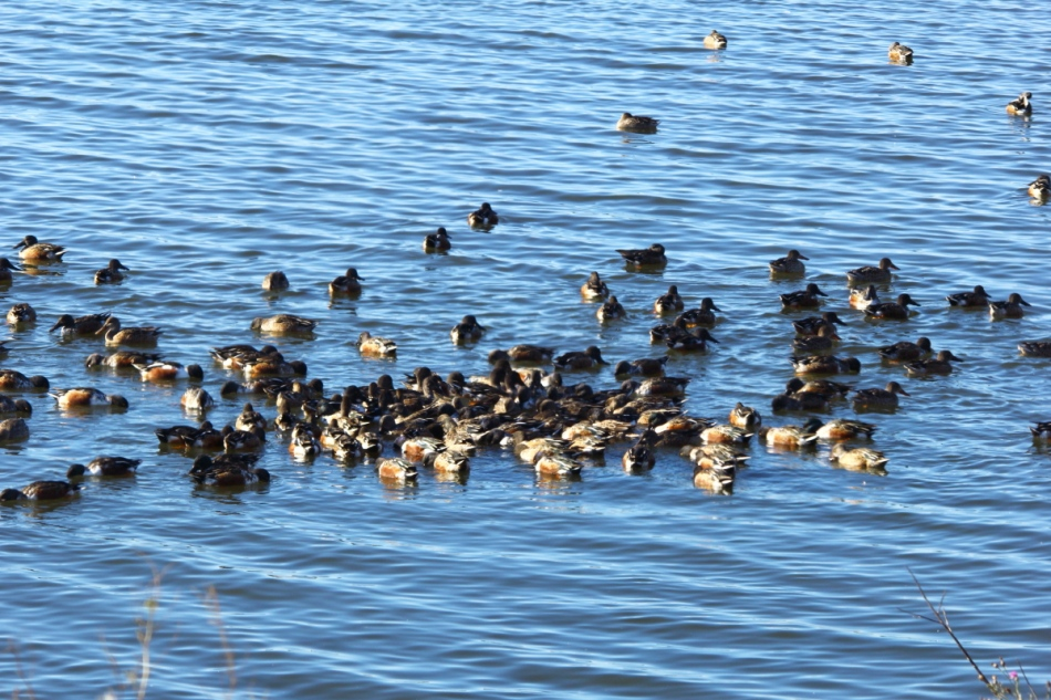 Northern shoveler feeding frenzy