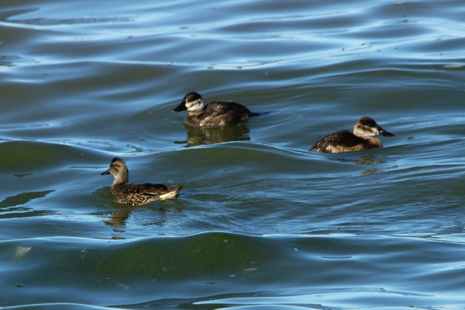 Female Green-winged teal and ruddy ducks