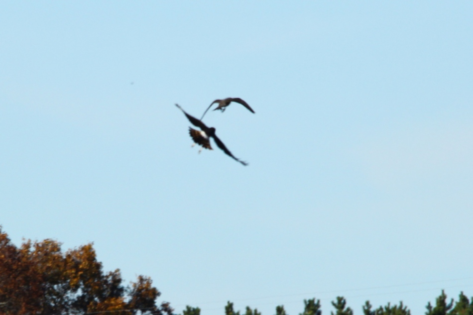 Peregrine falcon attacking a northern harrier