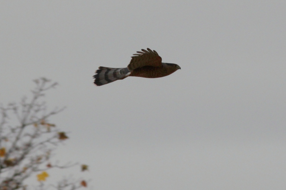 Cooper's hawk in flight