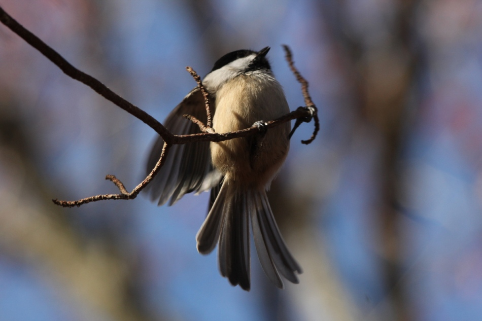Black-capped chickadee landing