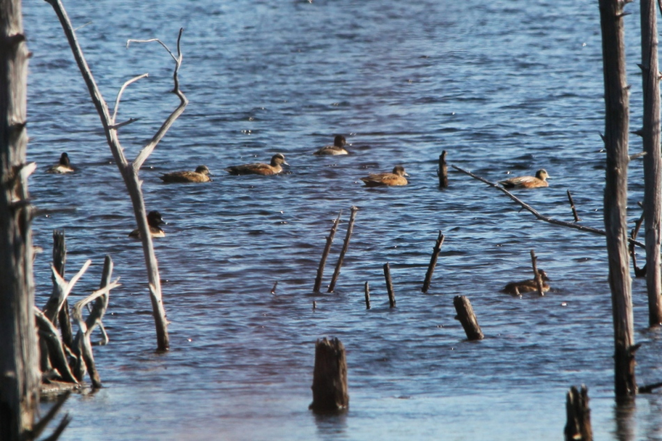 American wigeons and ring-necked ducks