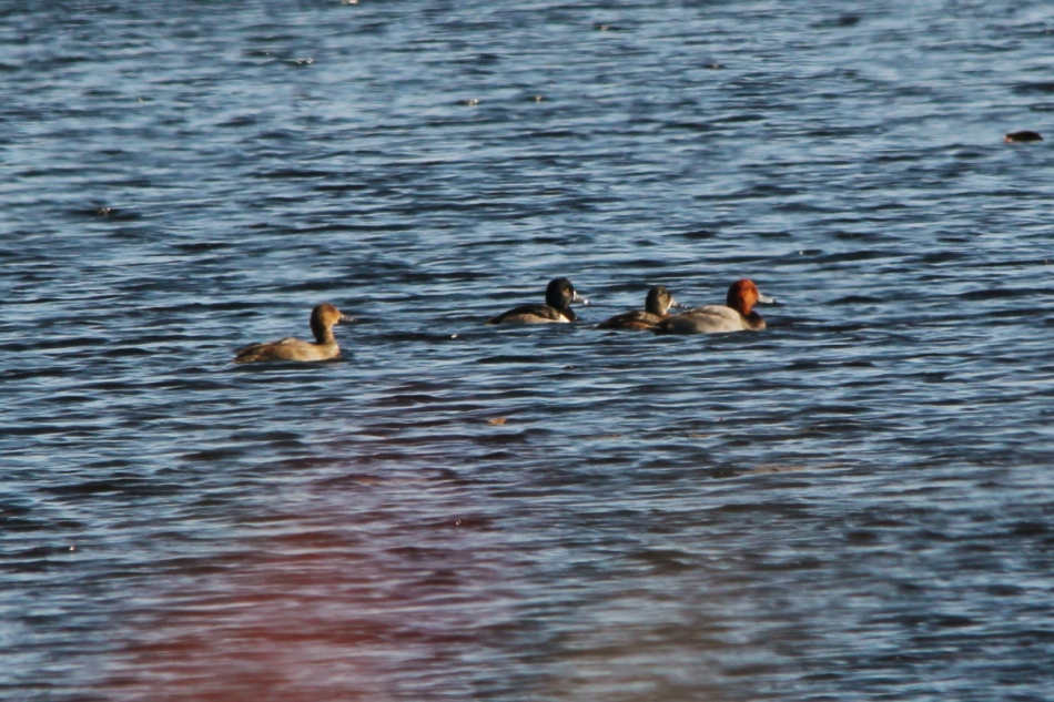 Redhead and ring-necked ducks