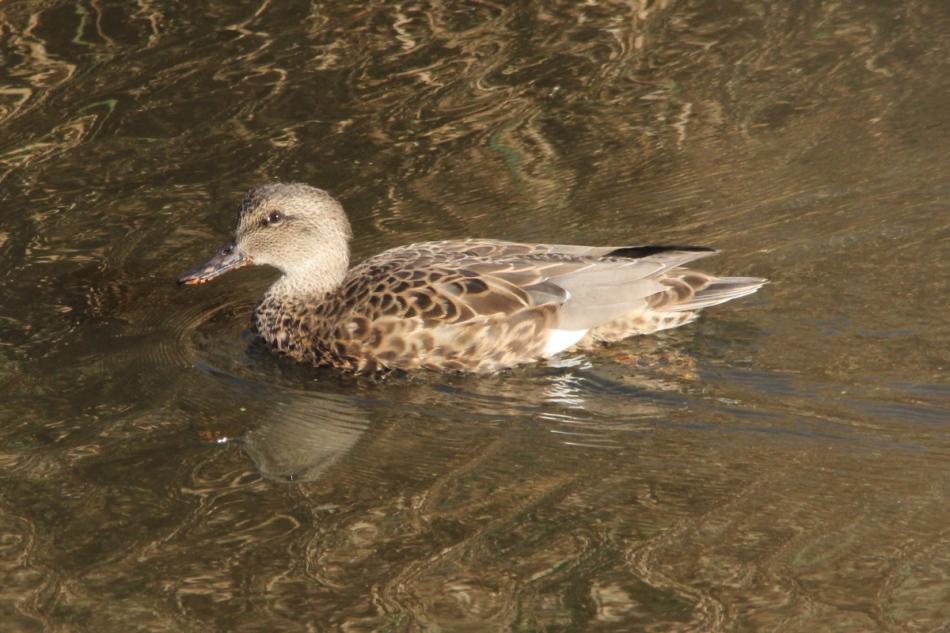 Female gadwall duck