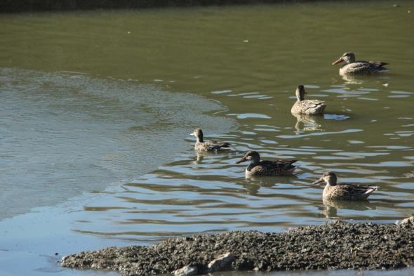 Northern shovelers and one female blue-winged teal