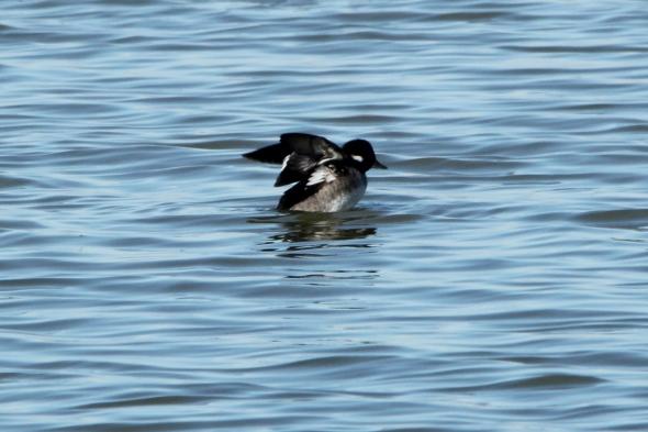 Juvenile bufflehead duck