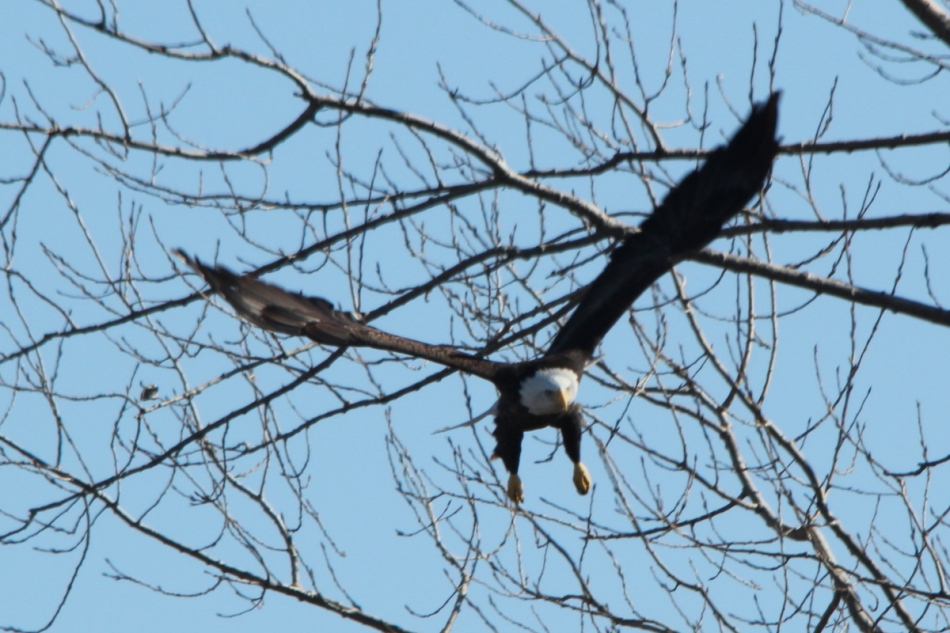 Bald eagle taking flight