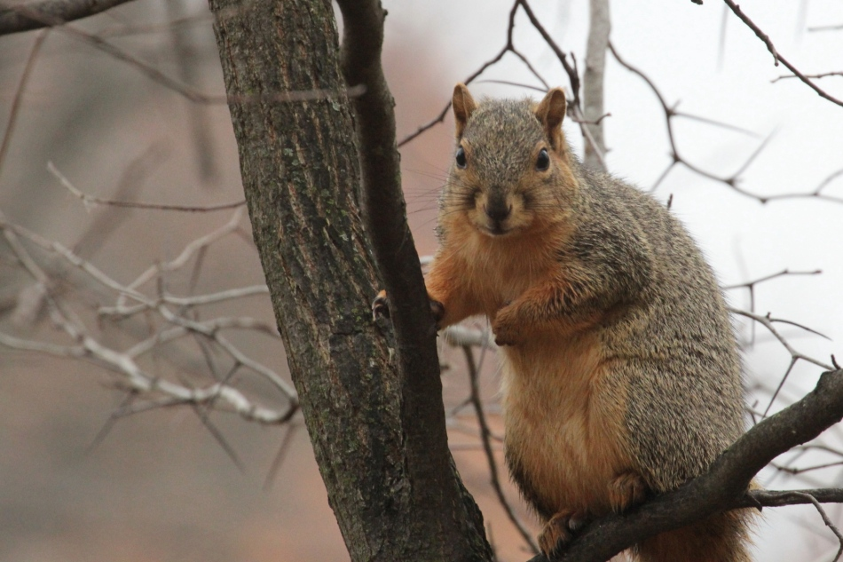 Relaxed fox squirrel