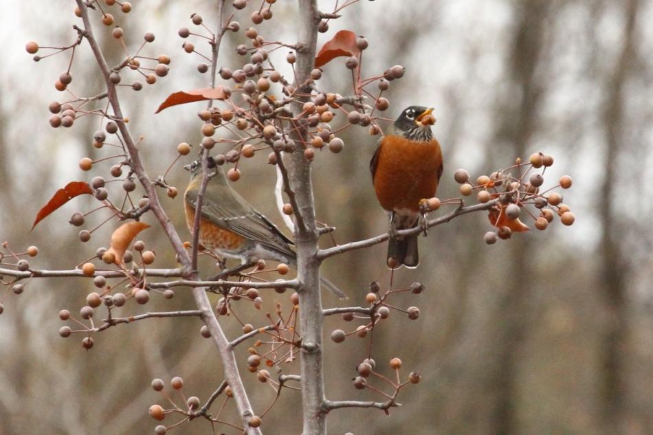 American robins eating berries