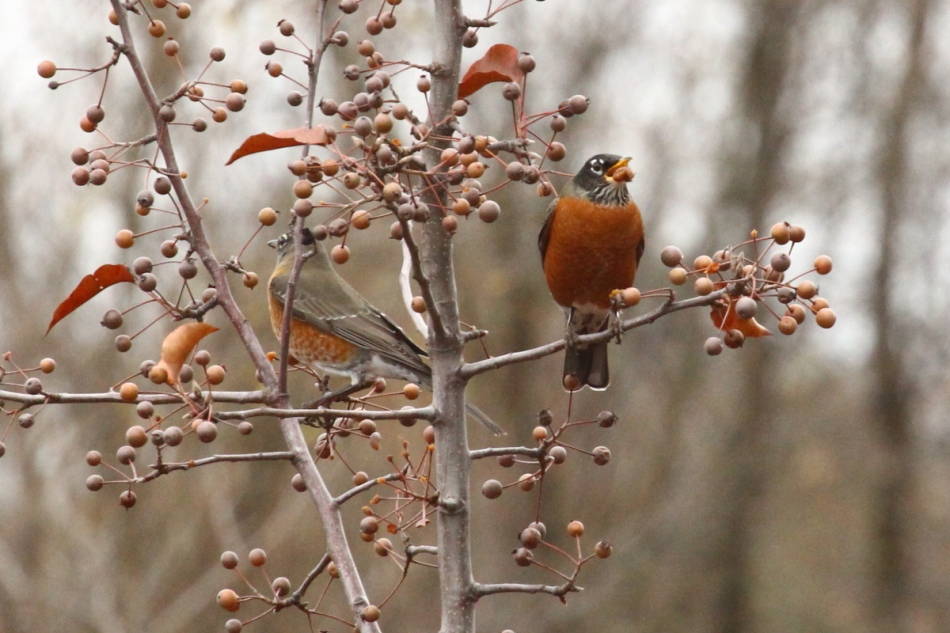 American robins eating berries