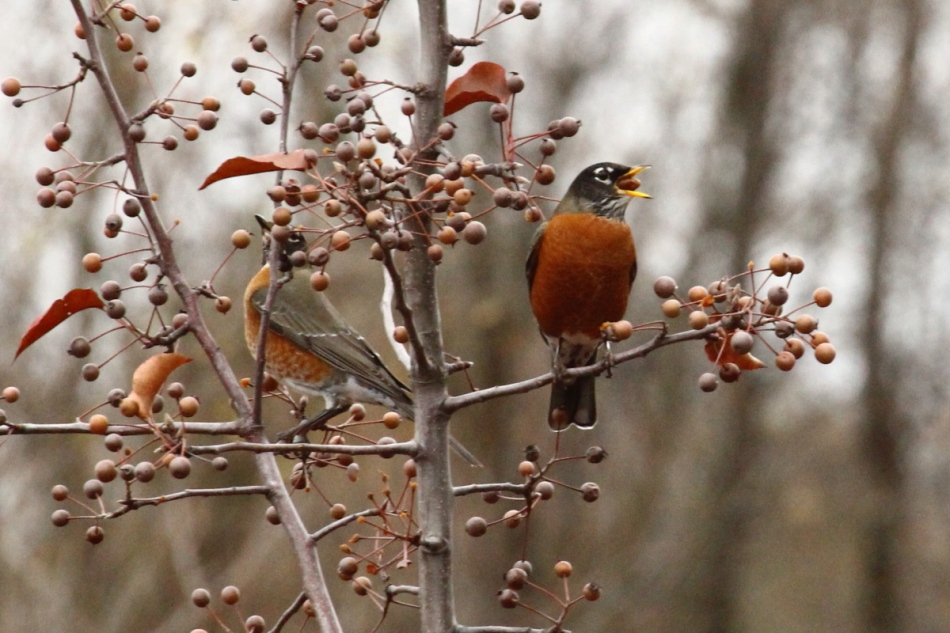 American robin chewing a berry