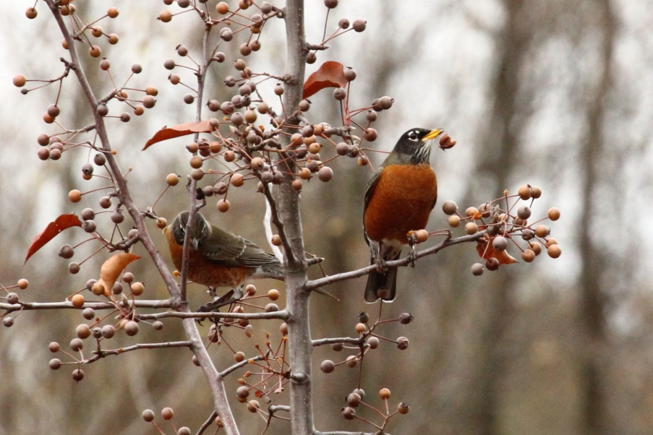 American robin spitting out a berry skin