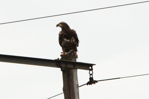 Bald eagle with its kill