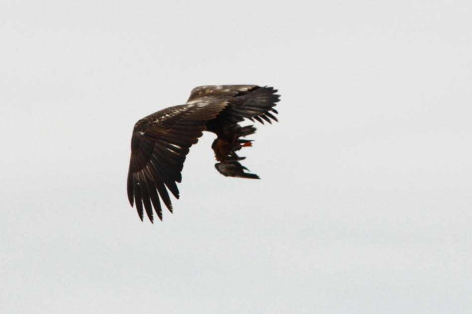 Bald eagle with its kill