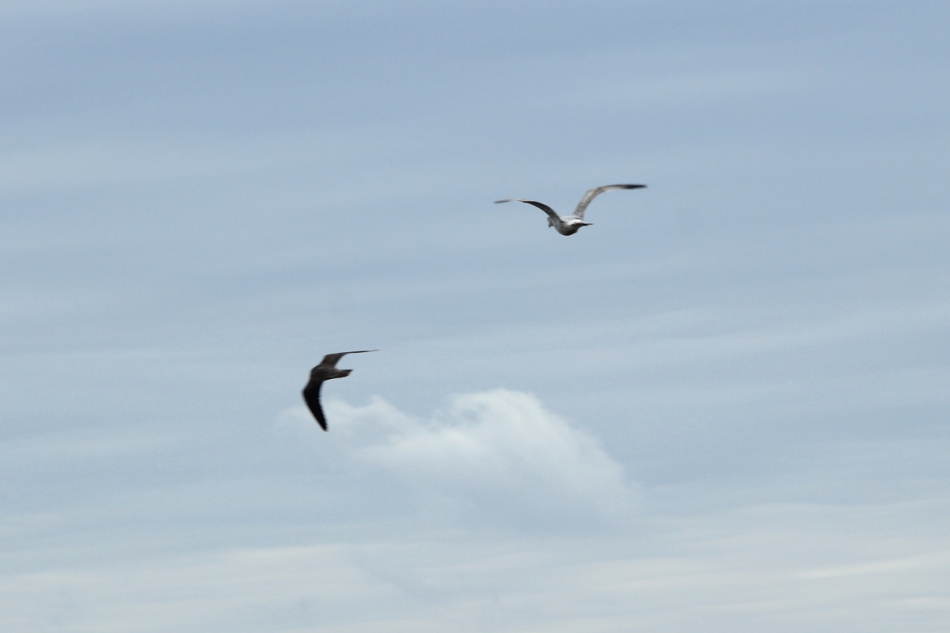 Gull chasing a peregrine falcon