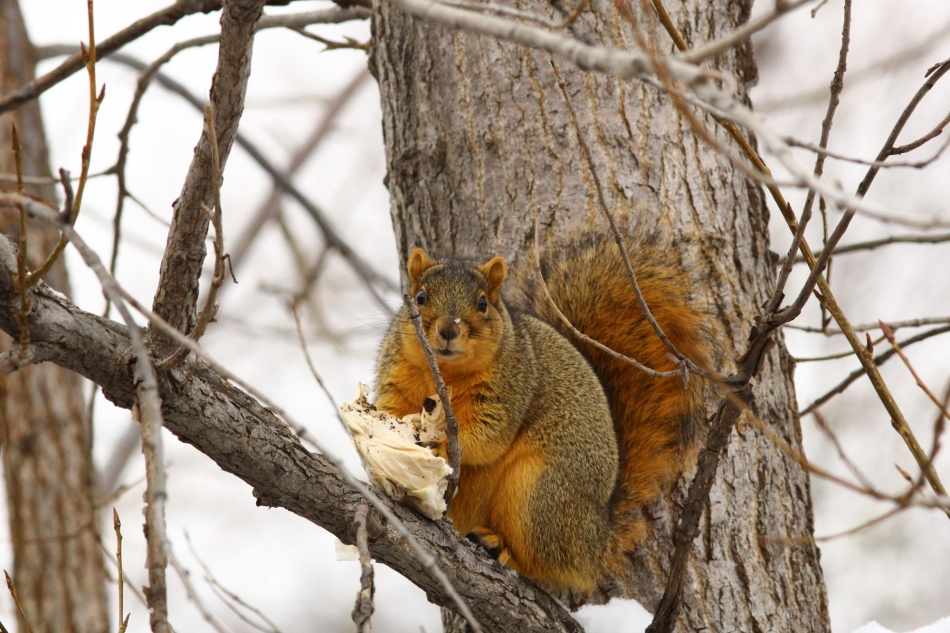 Guilty fox squirrel