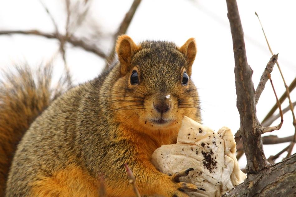 Guilty fox squirrel