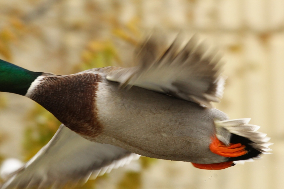 Most of a male mallard in flight