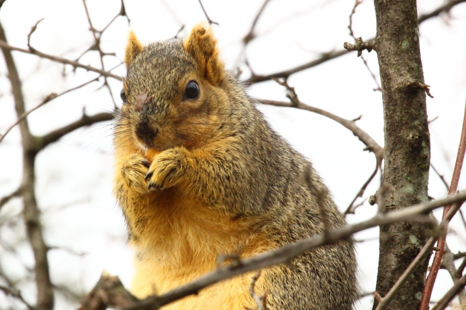 Hungry fox squirrel