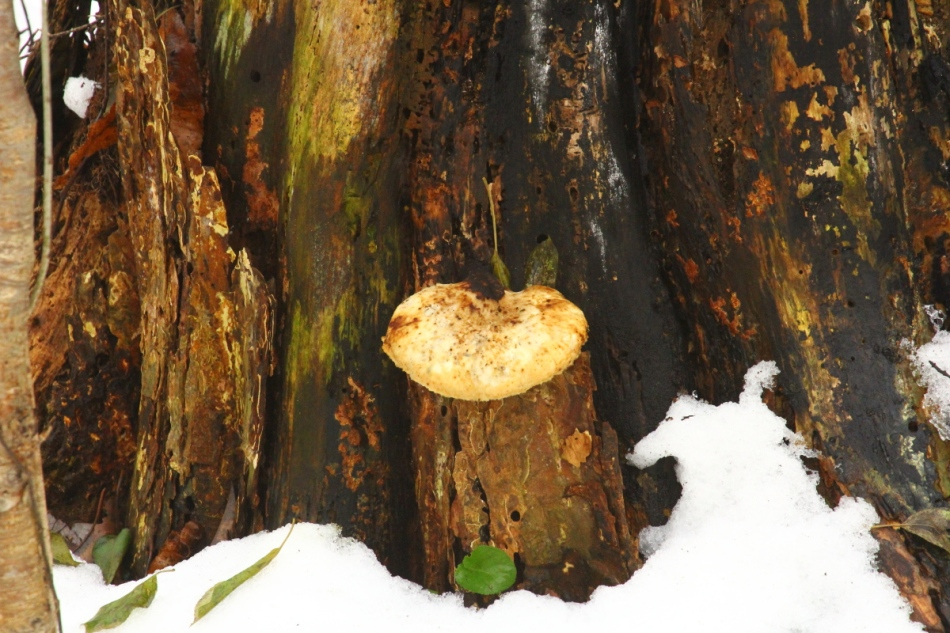 Unidentified fungal object