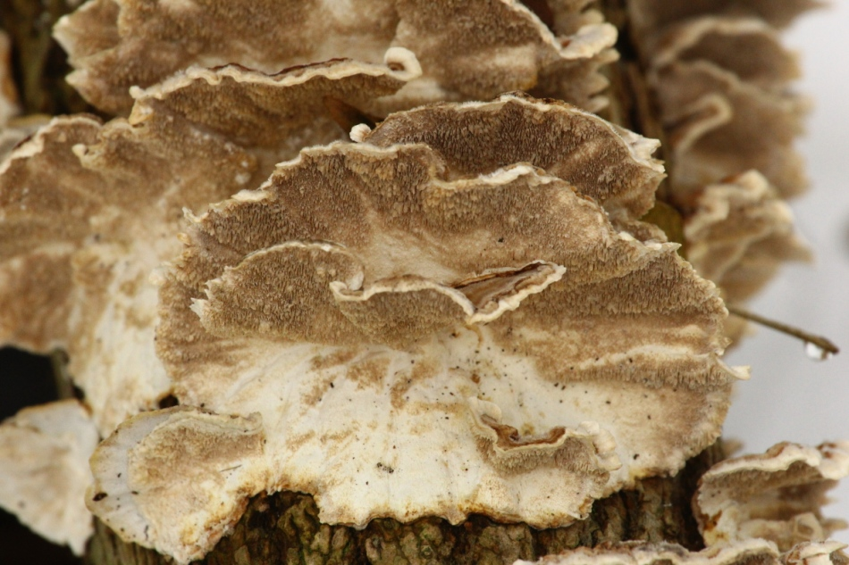 Turkey tails? 70-200 mm