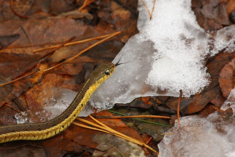Garter snake in the snow