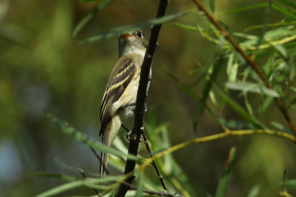 Acadian Flycatcher, Empidonax virescens