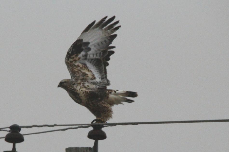 Rough-legged hawk taking flight