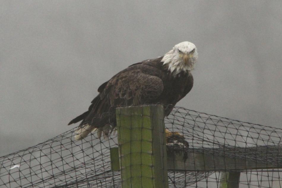 Bald eagle eating breakfast