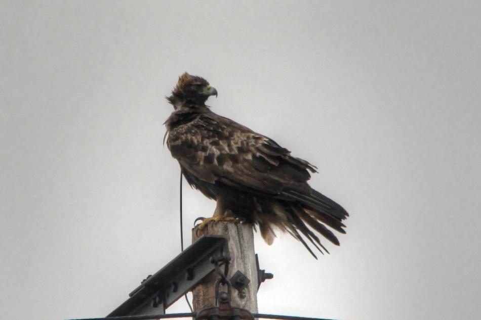 Golden eagle, cloned HDR image