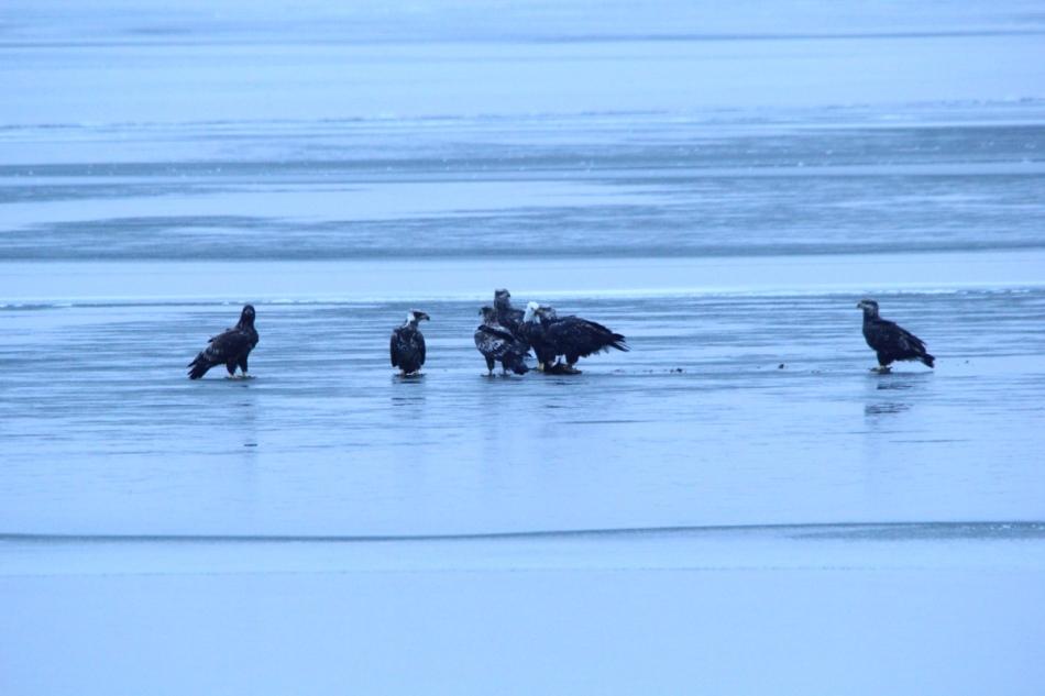 Seven bald eagles squabbling over food