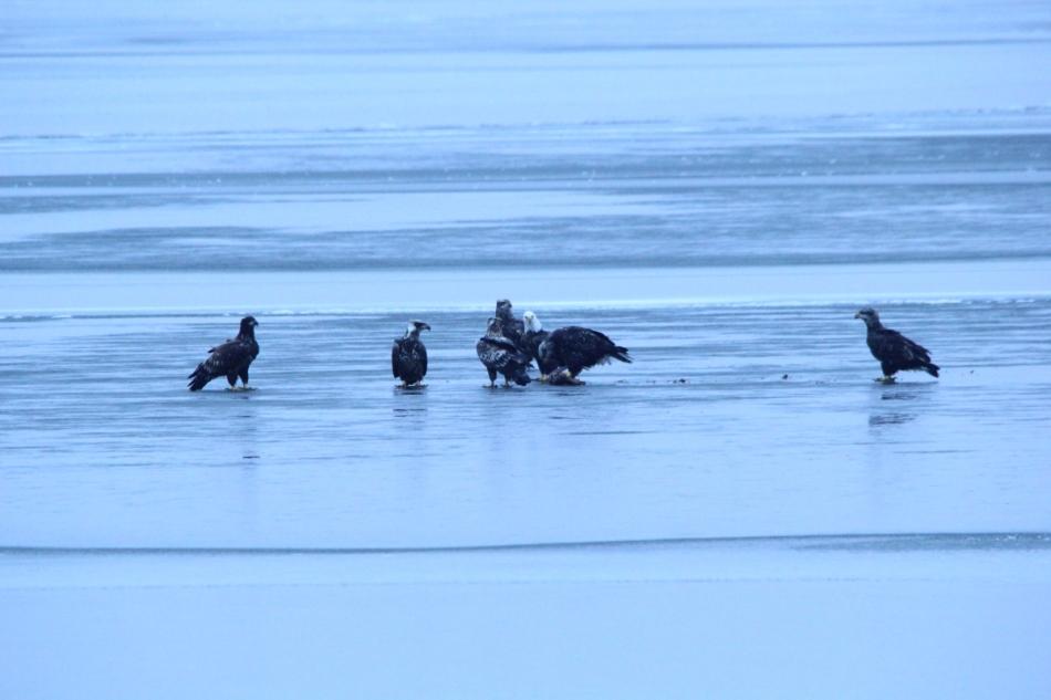 Seven bald eagles together