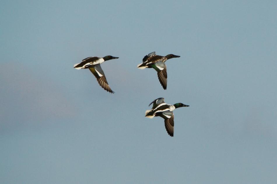 Male northern shovelers in flight