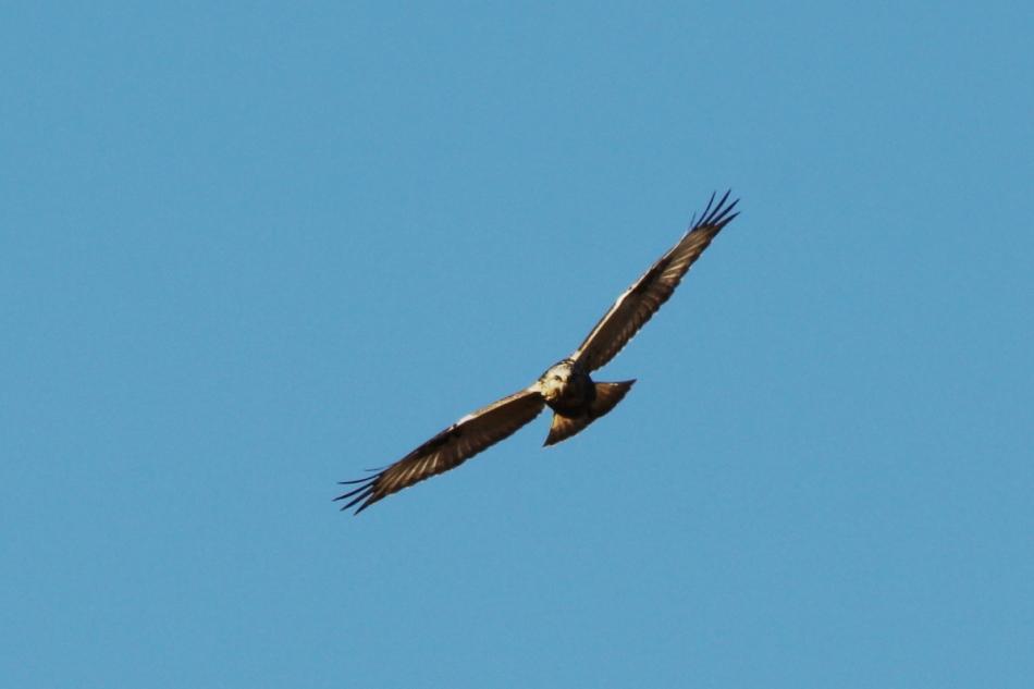 Rough-legged hawk in flight