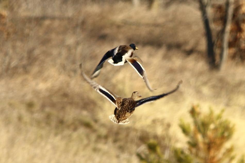 Mallard rear ends in flight