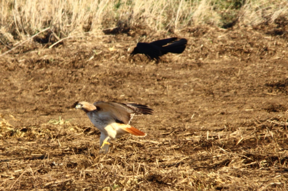 Red-tailed hawk attacked by a crow