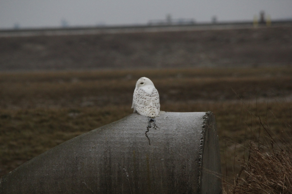 Snowy owl, 500 mm, not cropped