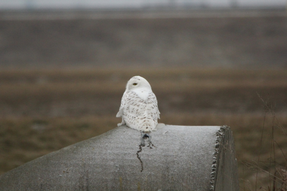 Snowy owl, 700 mm, not cropped