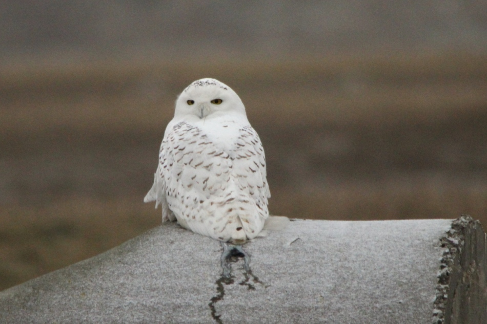Snowy owl, 700 mm, cropped