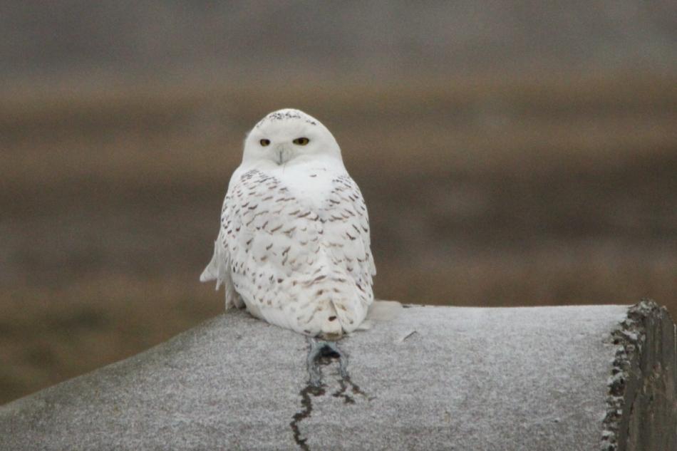 Snowy owl, 700 mm, cropped