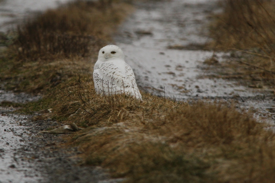 Snowy owl number two