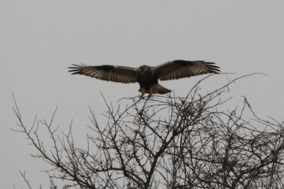 Rough-legged hawk landing