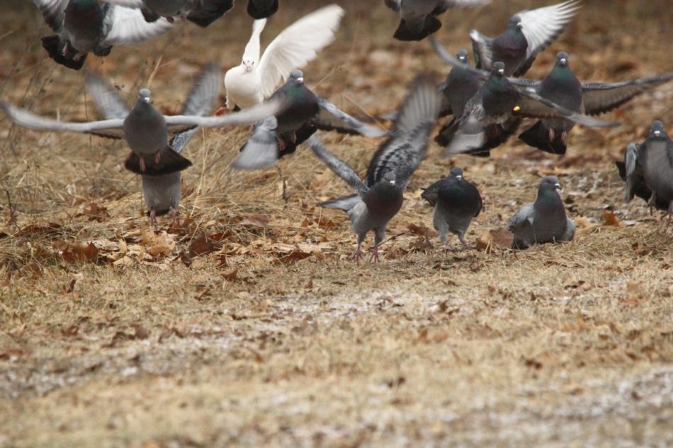 Pigeons (Rock doves) taking flight