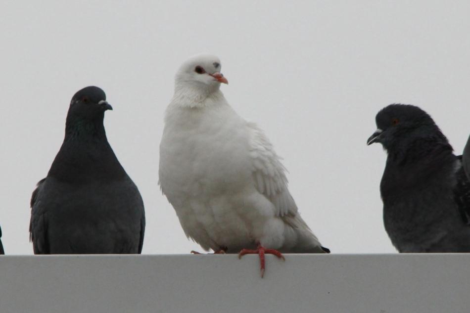 Pigeons (rock doves)