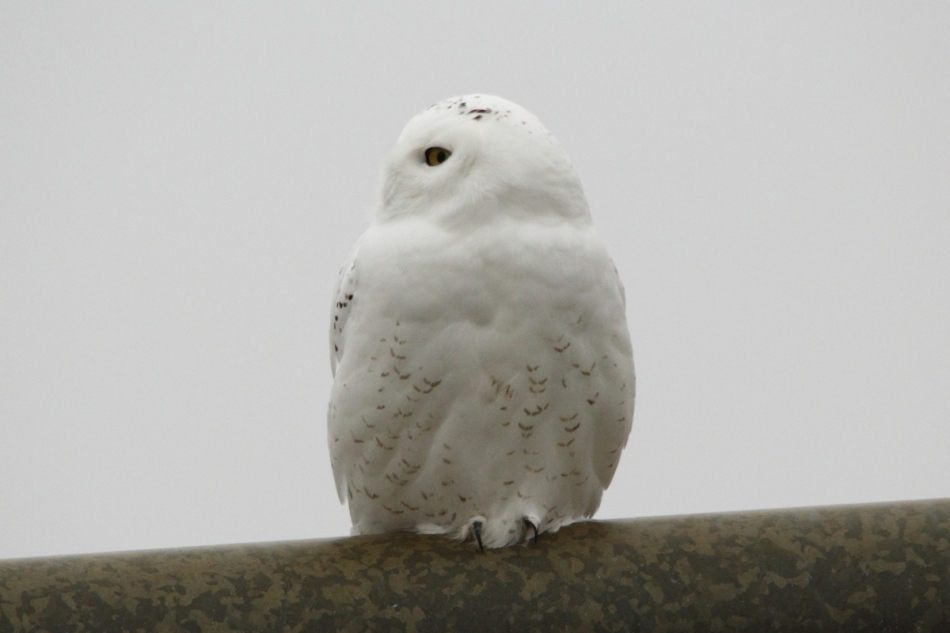 Snowy owl looking right