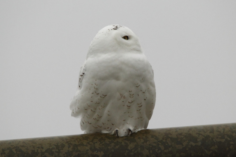 Snowy owl looking left