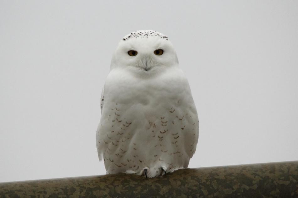 ough-legged hawk