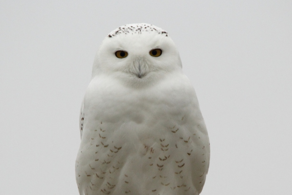 Snowy owl looking straight at me, cropped