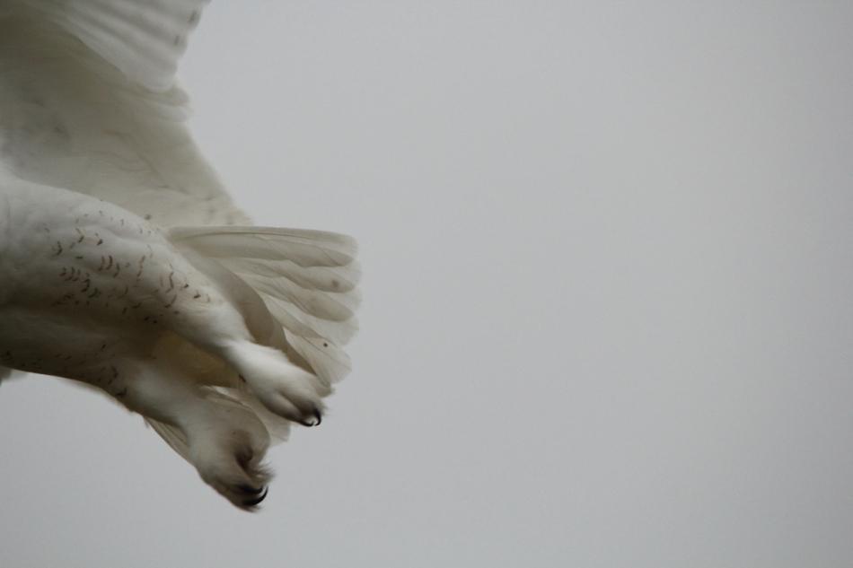 Snowy owl feet