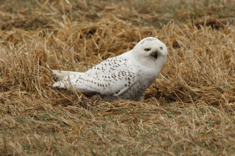 Snowy owl trying to dig up a rodent